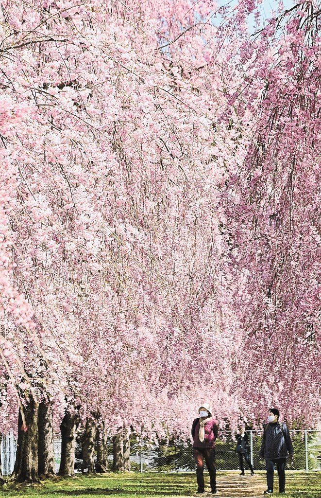 紅色の花に包まれたシダレザクラの並木道=7日